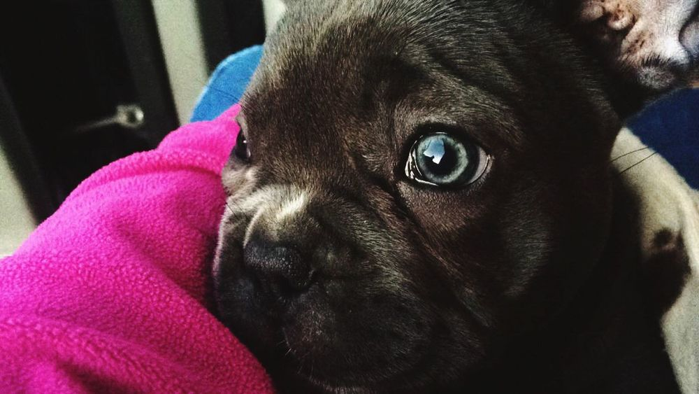 Frenchbulldog Blue