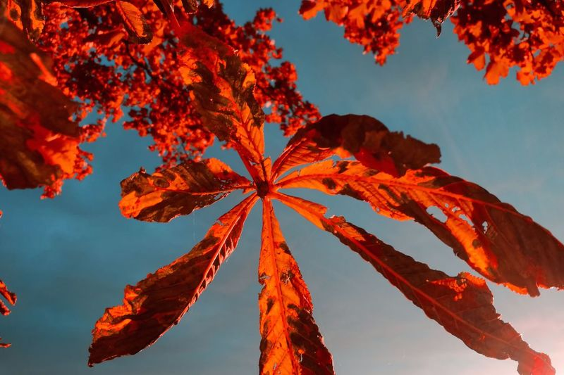 Low angle view of autumn leaves against clear sky