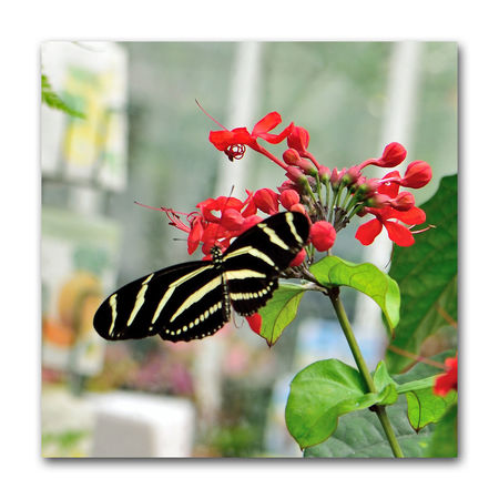 Butterflies At The Conservatory Of Flowers 8 Zebra Longwing Butterfly Heliconius Charithonia Feeds On Pollen & Flower Nectar Butterfly ❤ Conservatory Of Flowers San Francisco CA🇺🇸 Built In 1897 Golden Gate Park Architecture Victorian Style : Italinate Gothic Greenhouse Architectural Detail Glass & Wood Insects  Special Exhibit Butterflies And Blooms Botany Butterfly _Collection Butterfly Photograhy Nature Beauty In Nature Nature_collection Butterfly _Lovers