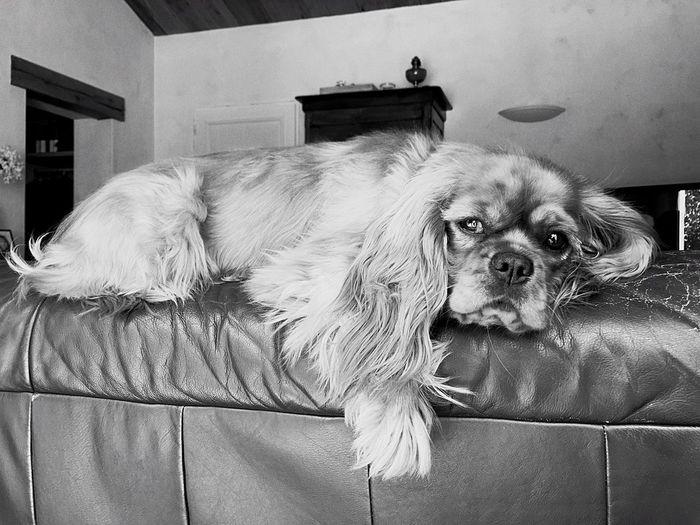 Cavalier King Charles Spaniel Cavalierkingcharles Dog Dogs Chien Black And White Noir Et Blanc Noiretblanc Blackandwhite Photography