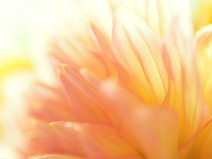 Macro Orange Orange Color Daria Flower Petal Growth Freshness Flower Head Softness Soft Focus Close-up Selective Focus