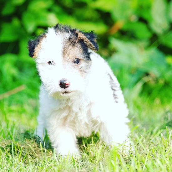 Little fox terriër puppy Dog Pets Grass One Animal Domestic Animals Animal Themes Mammal Looking At Camera Field Outdoors Cute Portrait No People Day Puppy Nature Close-up
