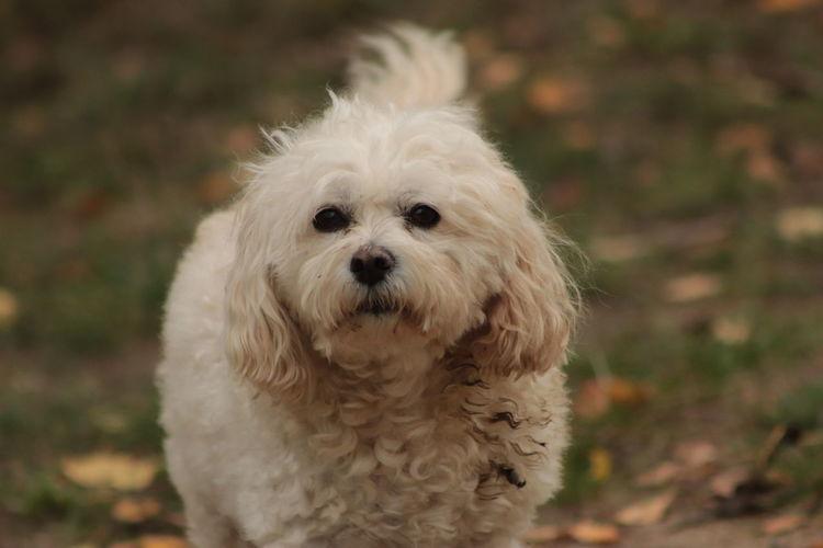 Portrait of white dog on field