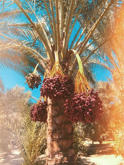 Tree Plant Nature Growth Sky Day No People Auto Post Production Filter Tree Trunk Sunlight Beauty In Nature Branch Date Palm Tree Outdoors Low Angle View Palm Tree Tropical Climate Trunk Clear Sky Tranquility
