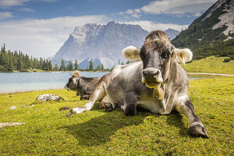 Cows Resting At Grassy Lakeshore Against Mountains