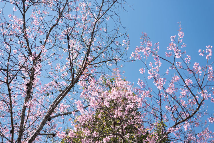 BEAUTIFUL SAKURA AND BLUESKY Japan Sakura Beauty In Nature Blossom Branch Cherry Blossom Cherry Tree Clear Sky Day Flower Flowering Plant Fragility Freshness Growth Low Angle View Nature No People Outdoors Pink Color Plant Sky Spring Springtime Tree Vulnerability