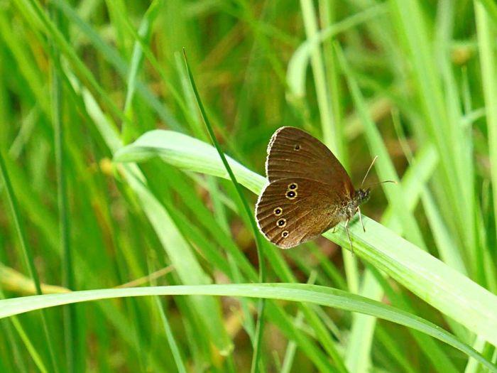 Butterfly Ringlet Butterfly Grass