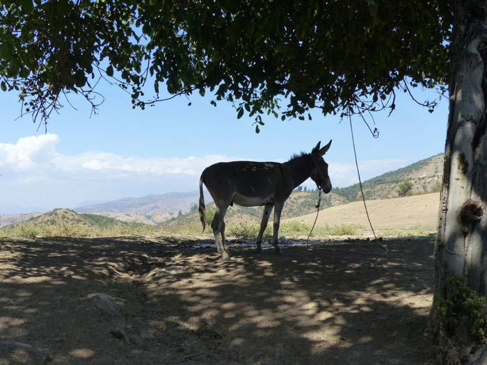 Donkey under a tree in an arid weather in the mountains of Uzbekistan. Under A Tree Shadow Arid Weather Hot Day ☀ Tree Animal Themes Arid Climate Blue Sky With Clouds Day Donkey Hot Days Of Summer Landscape Mountain Nature No People One Animal Sky Sunny Day Tree Working Animal Pony