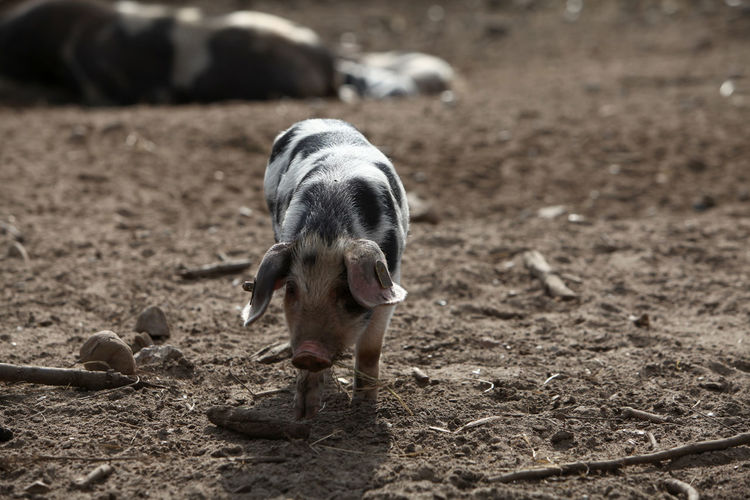 Piglet standing in a field