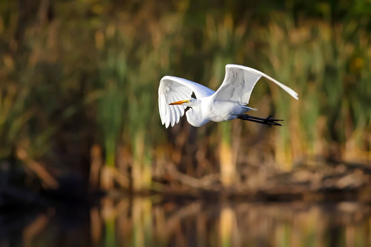 Egret Bird,avian,wings,fall,white,legs