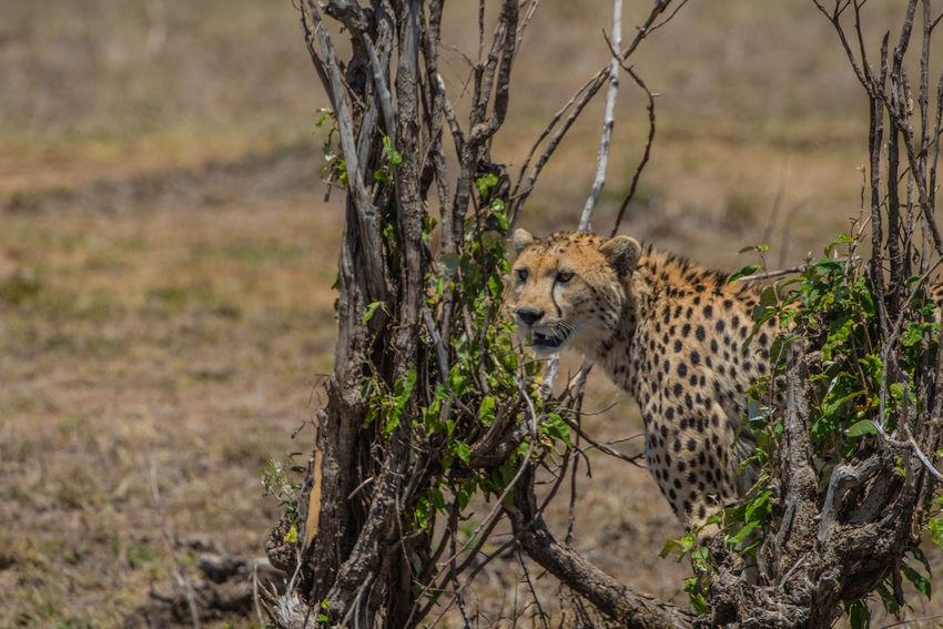 Africa African Safari Big Cats Kenya Kenya Massai Marra Massai Mara Wildlife & Nature Ziseetheworld