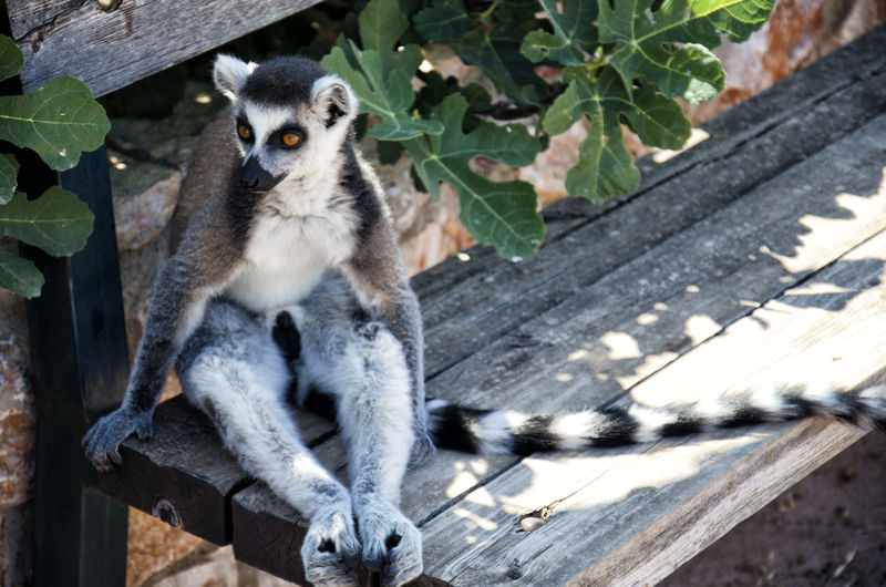 Lemur catta Bench Zoo Animal Themes Animal Wildlife Animals In The Wild Day Lemur Lemur Catta Mammal Nature No People One Animal Outdoors Sitting Sunsine Zoology