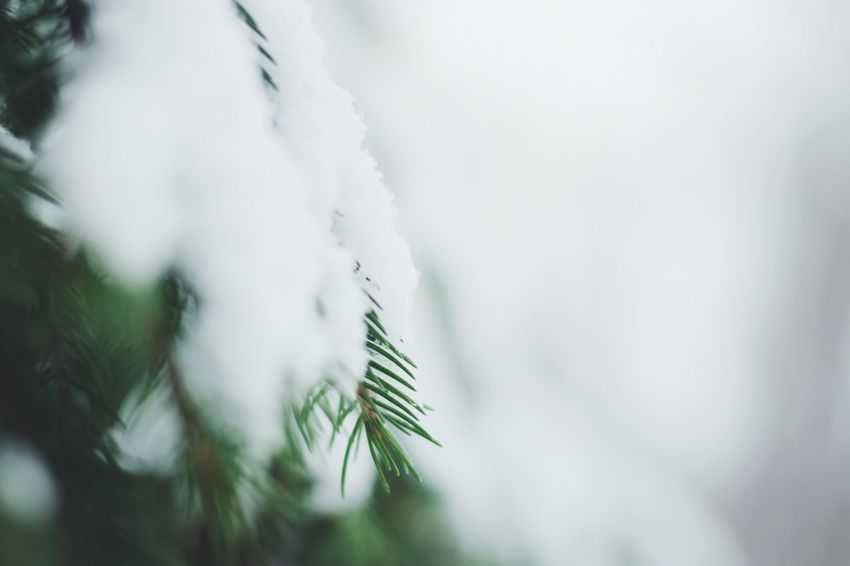 Nature White Color Growth Winter Close-up Tree No People Day Beauty In Nature Tranquility Snow Leaf Branch Outdoors Cold Temperature Needle - Plant Part Freshness
