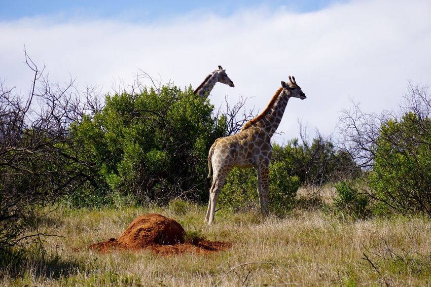Landscape_Collection South Africa Safari Giraffe Traveling Game Drive Wildlife