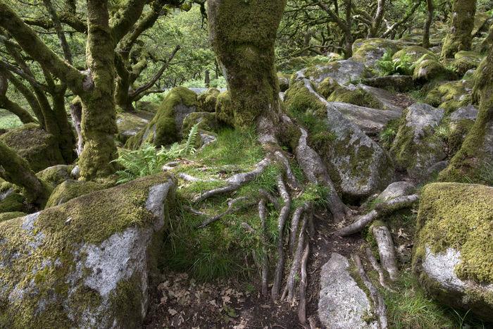 Wistman's Wood, Dartmoor, Devionshire, UK, an ancient oak woodland associated with myth, legend and druids. A Devon Devonshire Druid Druid's Secret Place Druids Druids Temple Granite Granite Rock Legends Lichens Magical Moss Myth Nature Oakwood Outdoors Tree Trees Uk Wistman's Wood Wood WoodLand Woodlands Woods