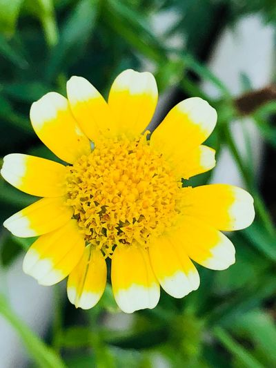 Flower Flowering Plant Yellow Plant Fragility Vulnerability  Beauty In Nature Petal Freshness Growth No People Nature Close-up Flower Head Inflorescence Focus On Foreground