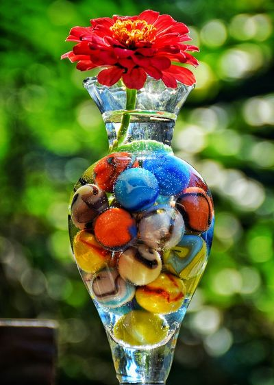 Close-up of red zinnia in vase with colorful marbles