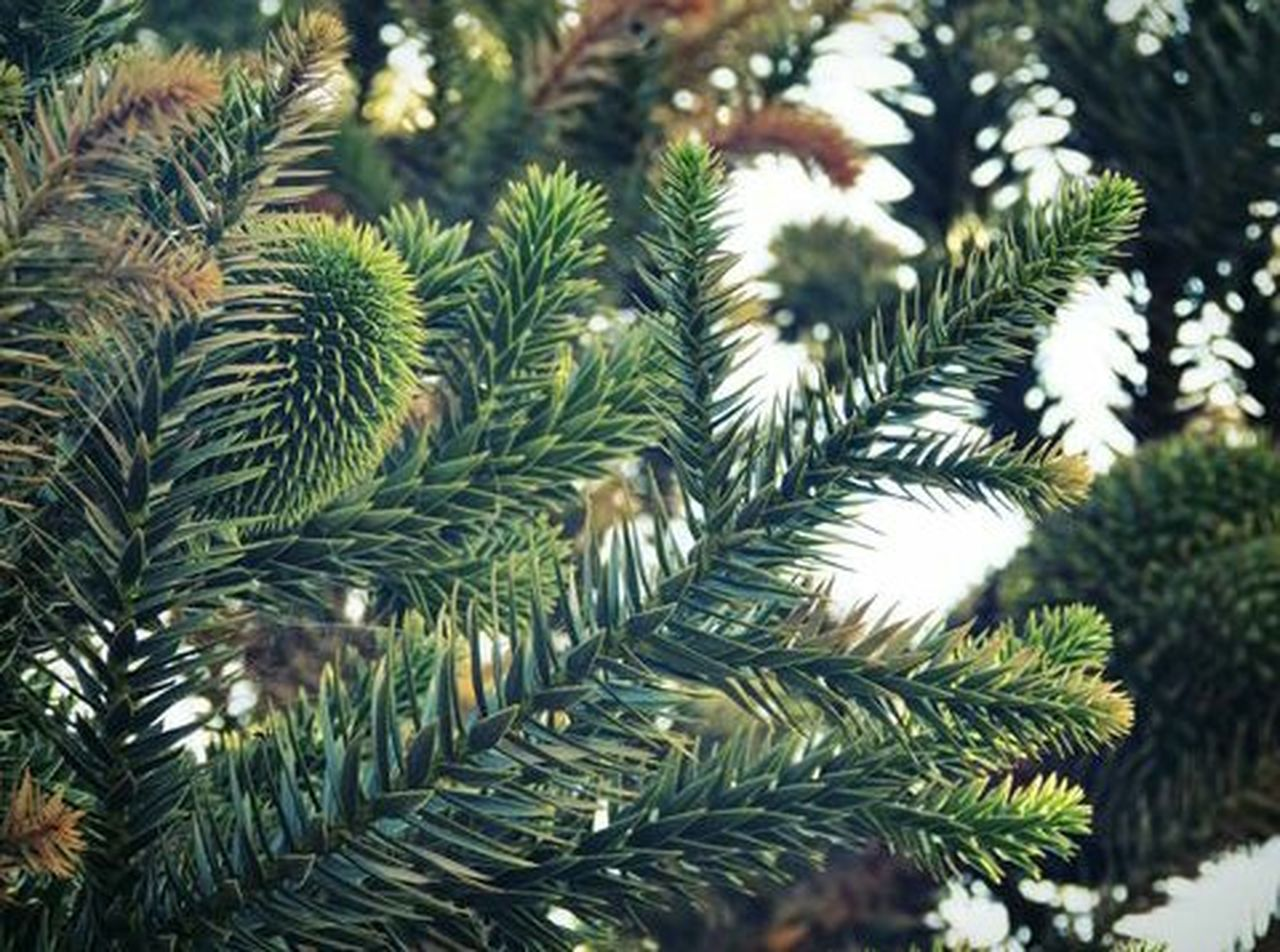 pine tree, nature, close-up, no people, day, plant, needle - plant part, growth, green color, focus on foreground, christmas, outdoors, pinaceae, beauty in nature, tree, fir tree, spruce tree, needle, freshness
