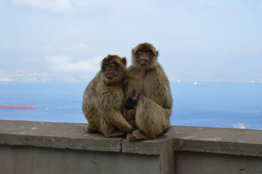 Monkey Primate Sitting Mammal Animal Family Animals In The Wild Ape Outdoors Care Animal Themes Nature Grooming Baboon No People Sky Togetherness Tail Astrology Sign Day Gibraltar