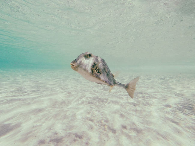 🐟Not necessarily the cutest but definitely one of the coolest creatures inhabitting the shallows of gibbs cay🤣~ Animal Wildlife Sea Life UnderSea Fish Underwater Animal Themes Water Beauty In Nature Grandturk Turksandcaicos Gopro Diving Sea Exploration Underwater Diving Scuba Diving Paradise Nature Sand