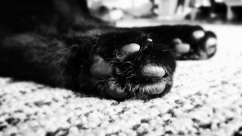 Cat Black&white 肉球