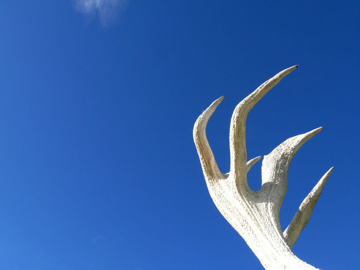 Kaikoura, Deer , New Zealand Deer Kaikoura New Zealand Scenery Standing Antler Beauty In Nature Blue Blue Background Clear Sky Close-up Copy Space Cut Out Day Deer Growth Horn Low Angle View Nature New Zealand No People Outdoors Plant Single Object Sky South Island Sunlight Tranquility Velvet White Color