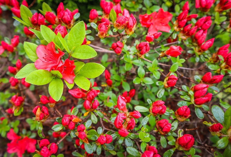 Blooming red azalea flower in spring garden. Gardening concept. Floral background Azalea Background Beautiful Beauty Bloom Blooming Bloomy Blossom Botany Bright Bud Buds Closeup Color Concept Environment Evergreen Flora Floral Flower Fresh Garden Gardener Gardening Green Grow Growing Growth Holiday Holidays Leaf Leaves Macro Natural Nature Opening Outdoor Park Petal Petals Pink Plant Pollinating Red Season  Seasonal Spring Springtime Summer Sunny