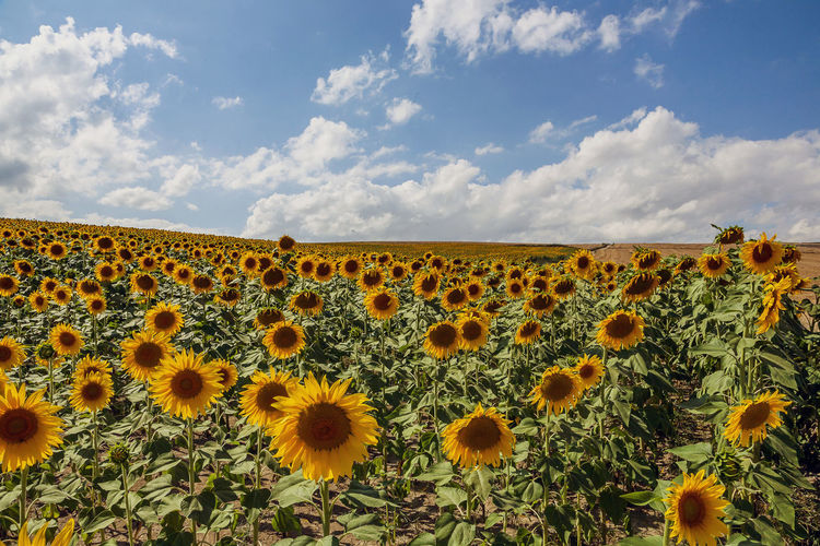 Sky Flower Flowering Plant Plant Growth Cloud - Sky Beauty In Nature Freshness Yellow Sunflower Flower Head Land Field Nature Landscape Inflorescence Fragility No People Environment Vulnerability  Outdoors Pollen Flowerbed