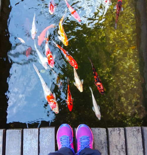 Low section of person standing on pier over koi carps swimming in lake