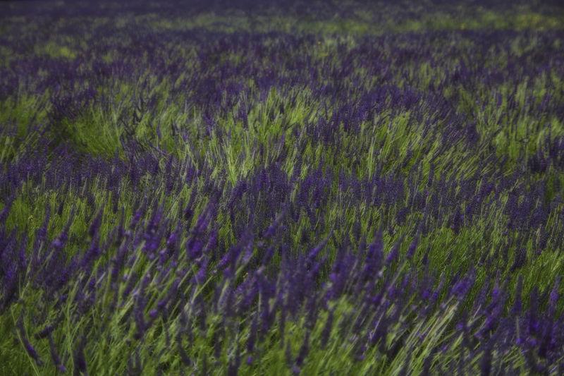 Full frame shot of lavender field