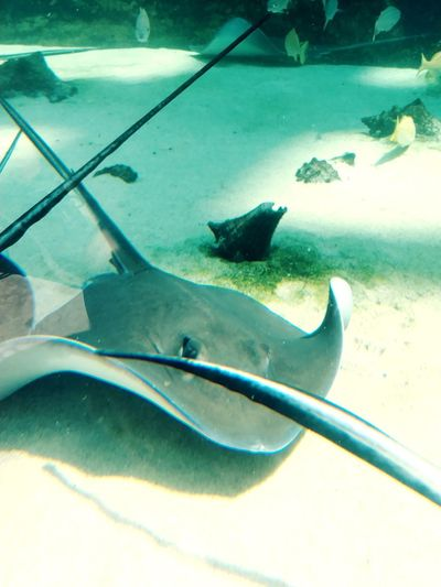 Stingray UnderSea Sea Life Underwater Swimming Animal Fin Fish Sea Stingray Close-up