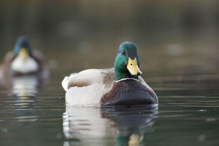Bird Animal Wildlife Animals In The Wild Water Animal One Animal Duck Lake Swimming Nature Water Bird Day Outdoors