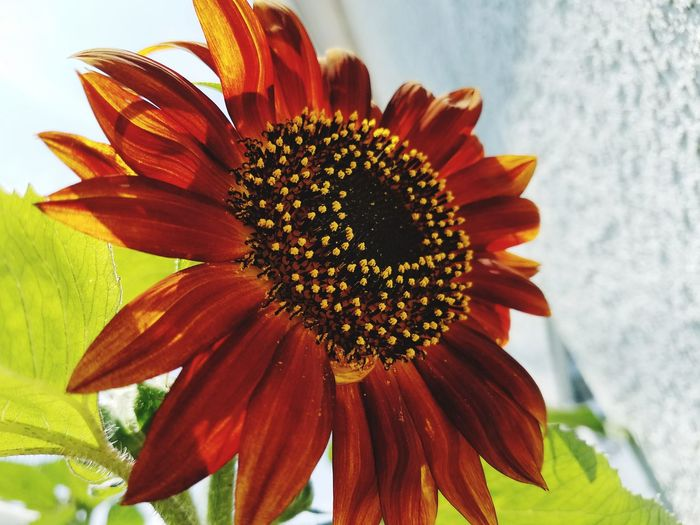 Flower Fragility Petal Nature Flower Head Freshness Beauty In Nature Outdoors Day Plant Growth Sunflower