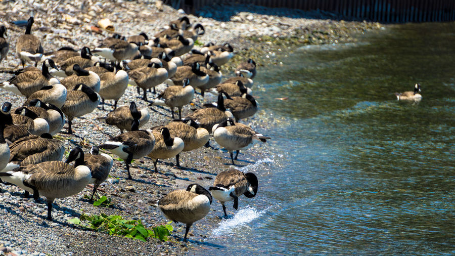 Canada Goose Animal Animal Family Animal Themes Animal Wildlife Animals In The Wild Beach Bird Canada Geese Canada Goose Day Duck Flock Of Birds Goose Gosling Group Of Animals Lake Large Group Of Animals Nature No People Vertebrate Water Young Animal