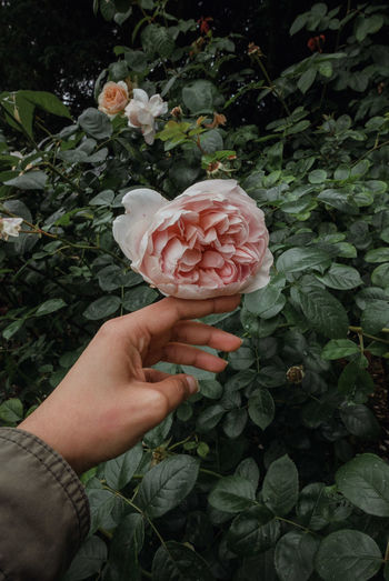 Midsection of person holding rose plant