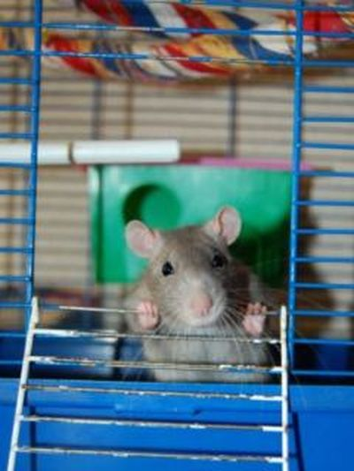 Hux Domestic Animal Eyem Animal Lovers Rat крысенок Хакс