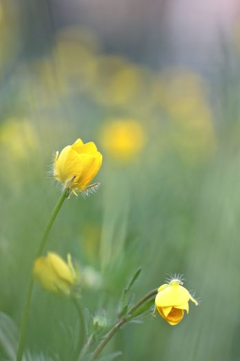 Beauty In Nature Buttercup Flower Flower Fragility Freshness Outdoors Yellow