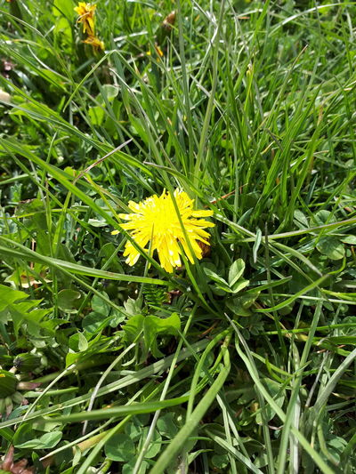 Flower EyeEm Nature Lover Eye4photography  Taking Photos Naturelovers My Life ❤ Yellow Flower Green Color Nursinglife Spring My Life - Just Now Leaf Yellow Close-up Grass Blooming