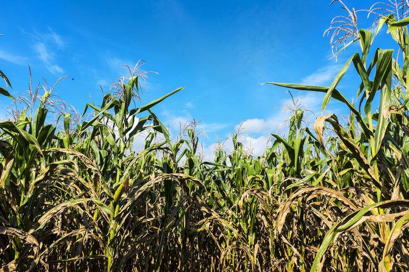 Green Blue Sky Nature Plants Corns Sunny Day Harvest