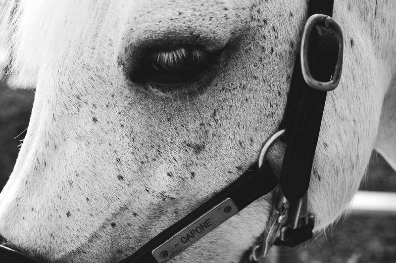 Mr. Capone. Horses Nature Outdoors Nikon D3200 Nikon Photography Portrait Close-up Eyeball