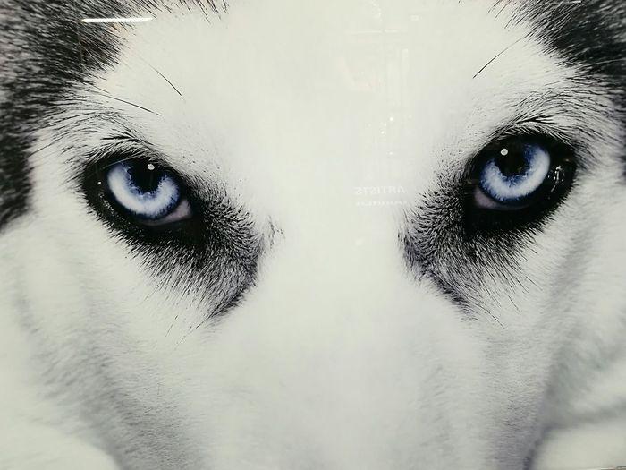 Looking At Camera Close-up Husky Husky Eyes Close Up