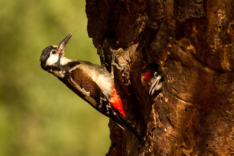 Animal Themes Animal Wildlife Animals In The Wild Beauty In Nature Bird Photography Close-up Dendrocopos Major European Birds Focus On Foreground Great Spotted Woodpecker Nature Nature Photography No People Western Palearctic Wildlife & Nature Wildlife Photography Woodpecker Woodpecker In Hole Woodpecker In Tree