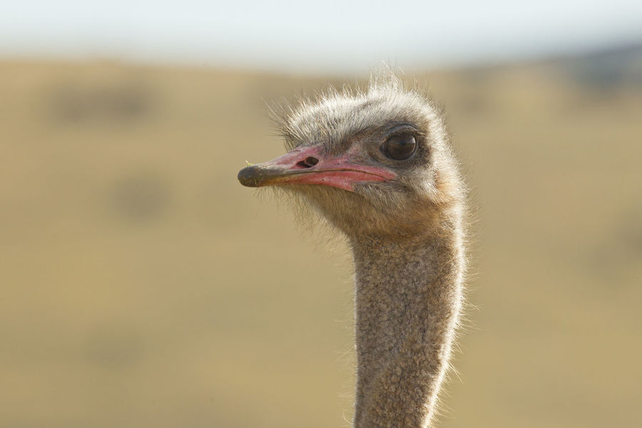 Male Ostrich head and neck during mating season showing a reddish beak Animal Themes Animal Wildlife Animals In The Wild Beak Bird Close-up Day Focus On Foreground No People One Animal Ostrich Outdoors