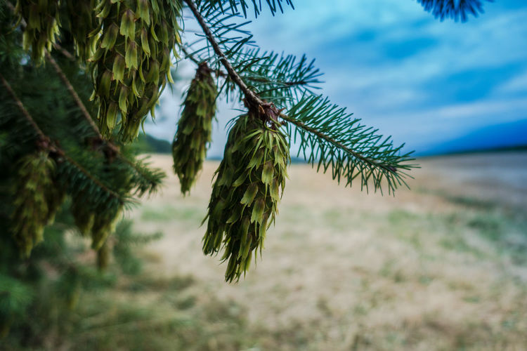Beauty In Nature Branch Close-up Cloud - Sky Coniferous Tree Day Focus On Foreground Green Color Growth Hanging Land Leaf Nature No People Outdoors Pine Tree Plant Selective Focus Sky Tranquility Tree