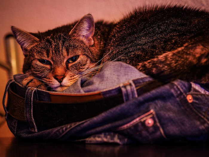 Cat by Jeans Brown Photography Animal Themes Cat Cats Chill Chill Mode Chillin Chilling Close-up Cute Cute Pets Day Domestic Animals Domestic Cat Feline Indoors  Jeans Mammal No People One Animal Pets Sweet Pet Portraits