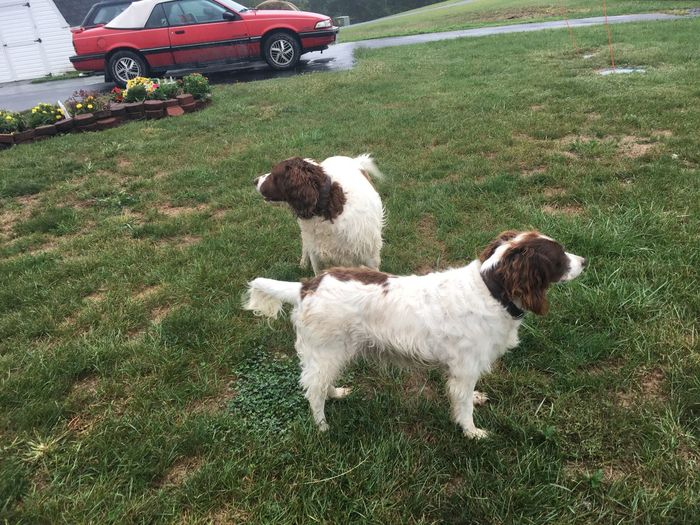 Watching in both direction Animal Themes Brown Markings Dogs Domestic Animals English Springer Spaniels Field Grass Outdoors Pasture Pets Rural Scene Tranquility Two Animals White Color