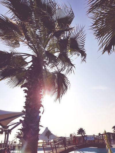 Palm beach Tree