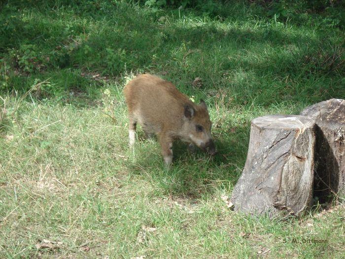 Frischling Animal Wildlife Animals In The Wild Grass Green Color Junges Wildschwein Mammal No People One Animal Outdoors Wildschwein Young Wild Boar