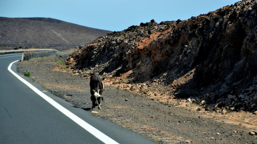 View of a goat walking on road