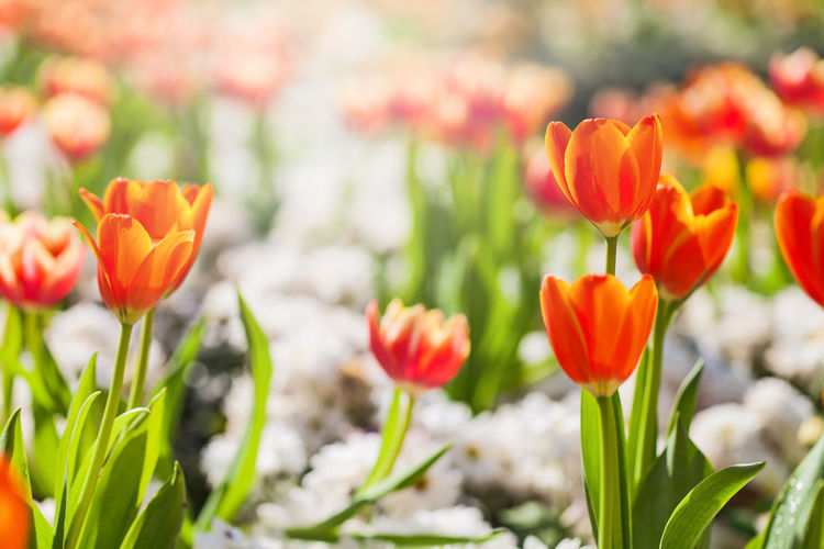 Close-up of orange tulips blooming on field